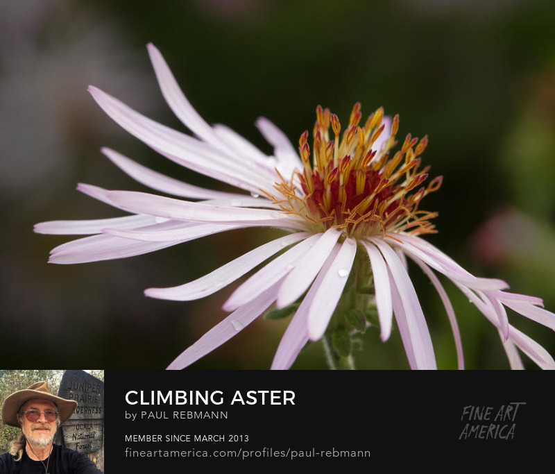Purchase Climbing Aster by Paul Rebmann