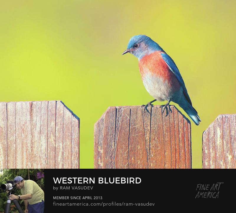 Western Bluebird by Ram Vasudev