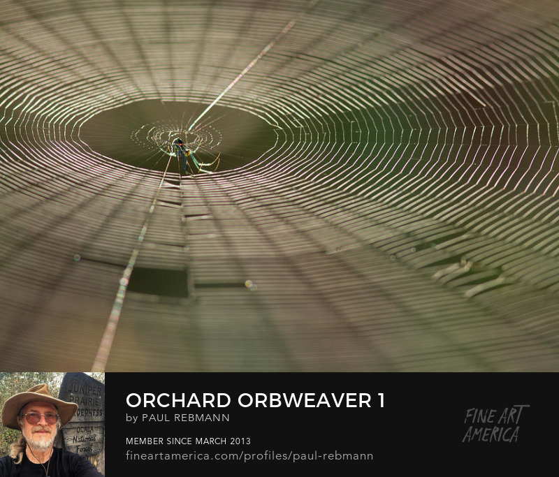 Purchase Orchard Orbweaver #1 by Paul Rebmann