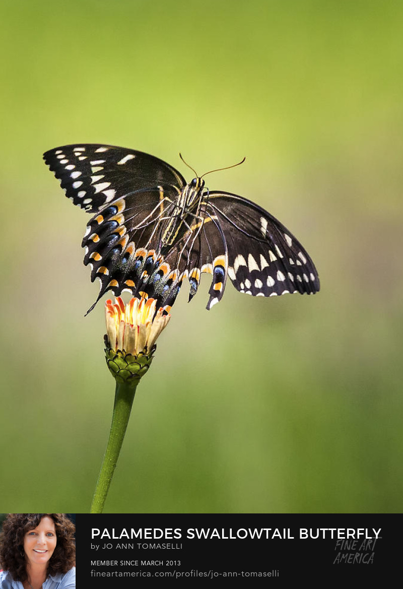 Swallowtail Butterfly lands on a flower buy image by Jo-Ann Tomaselli
