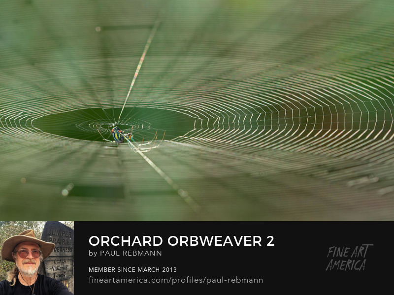 Purchase Orchard Orbweaver #2 by Paul Rebmann