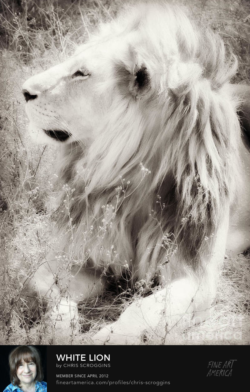white lion photo by chris scroggins