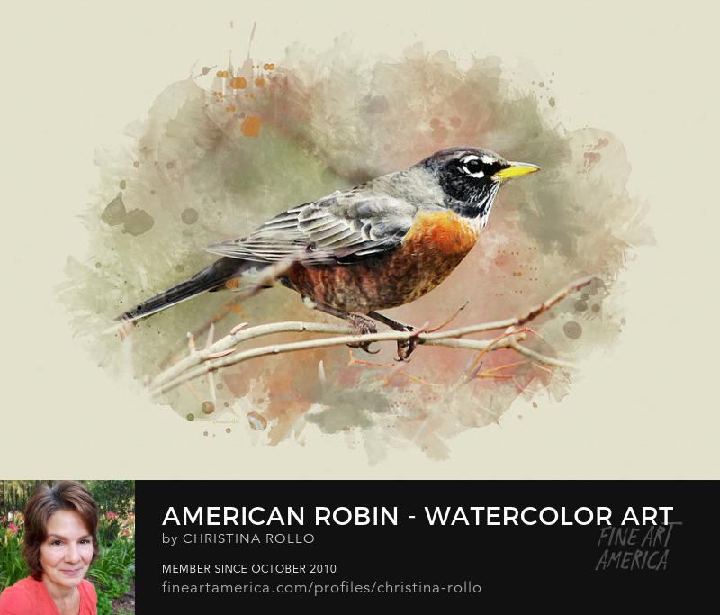 American Robin Watercolor Art Prints for Sale