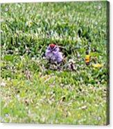 Sparrow Acrylic Print