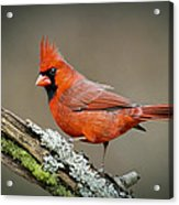 Portrait Of Cardinal  Acrylic Print