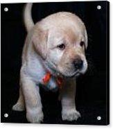 4 Week Old Lab Puppy Acrylic Print