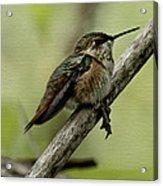 A Little Tired Hummingbird Acrylic Print