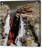 A Lizard Emerging From Its Hole Acrylic Print