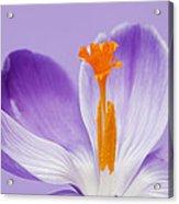 Abstract Purple Crocus Acrylic Print