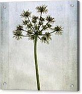 Aethusa Cynapium Acrylic Print