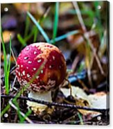 Amanita Muscaria Commonly Known As The Fly Agaric Or Fly Amanita Acrylic Print