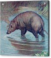 (babirusa Alfurus)        Date 1909 Acrylic Print