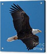 Bald Eagle In Flight 6 Acrylic Print