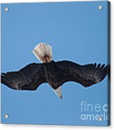 Bald Eagle In Flight 8 Acrylic Print