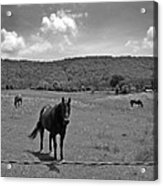 Black And White Pasture With Three Horses Acrylic Print