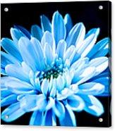 Blue Chrysanthemum Acrylic Print