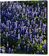 Bluebonnets In The Limelight Acrylic Print