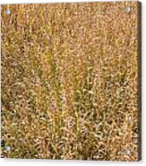 Brown Grass Texture Acrylic Print