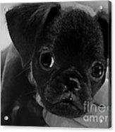 Brussel Griffon Puppy Painting Acrylic Print