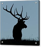 Bull Elk At First Light Acrylic Print