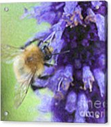 Bumblebee On Buddleja Acrylic Print