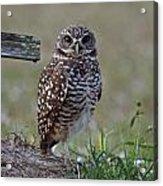 Burrowing Owls - Watching You 3 Acrylic Print