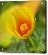 California Poppy In Autumn  Acrylic Print