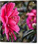 Camellia De Mamie Acrylic Print