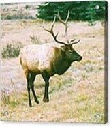 Canadian Elk Acrylic Print