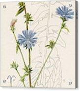 Chicory, Or Succory         Date 1915 Acrylic Print