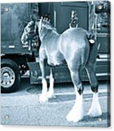 Clydesdale In Black And White Acrylic Print