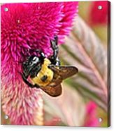 Cockscomb And Bumble Bee Acrylic Print
