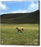 Cow And Calf. Aubrac . France. Acrylic Print