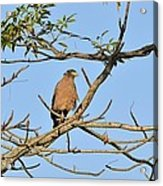 Crested Serpent Eagle Acrylic Print