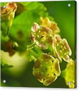 Currant In Bloom Acrylic Print