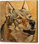 Czechoslovakian Wolfdog Portrait Acrylic Print