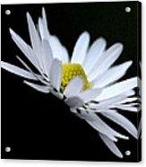Daisy 4 Acrylic Print