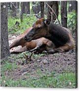 Elk In  Yellowstone Park  Acrylic Print