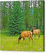 Elk Near Wapiti Campground In Jasper Np-alberta Acrylic Print
