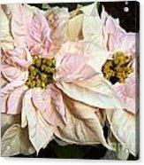 Euphorbia Marron Acrylic Print
