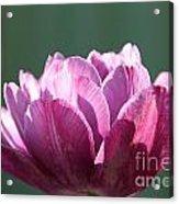 Exotic Tulip Acrylic Print