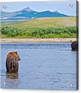 Grizzly Bears Looking At Each Other In Moraine River In Katmai Np-ak  Acrylic Print