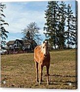 Horse Unbrideled Acrylic Print