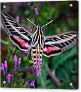 Hummingbird Moth Print Acrylic Print