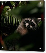 I Can See You  Mr. Raccoon Acrylic Print