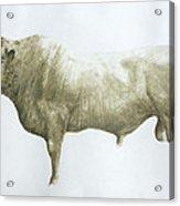 Islay Bull Acrylic Print