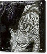 Jaguar Or Jacaranda  Acrylic Print