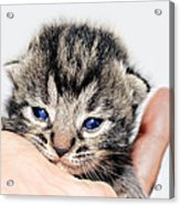 Kitten In A Hand Acrylic Print by Susan Leggett