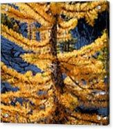 Larch Tree Closeup Acrylic Print