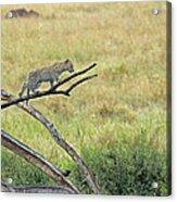 Leopard Cub In Serengeti Acrylic Print